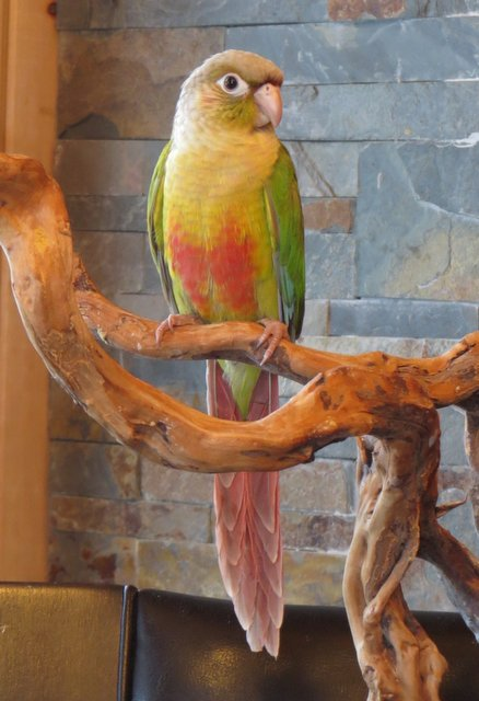 CONURE CANNELLE