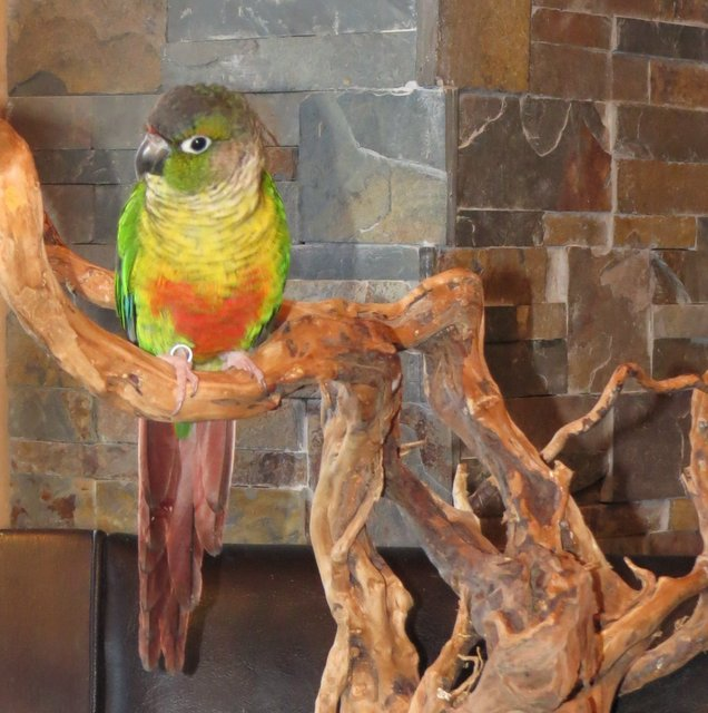 CONURE YELLOW SIDE